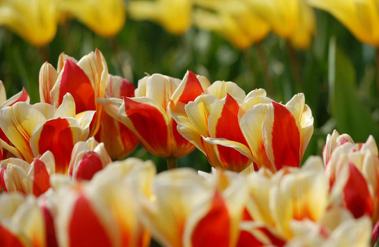 Ciclovacanza di primavera: FunActive porta in bici tra i tulipani in ...